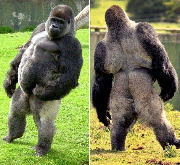 Hairless orangutan