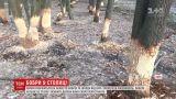 Кияни скаржаться на бобрів, які масово нищать дерева