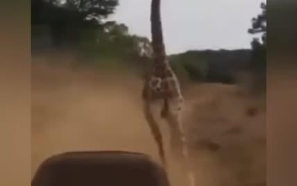В Сети появилось видео безумной гонки жирафа за туристами на сафари-джипе