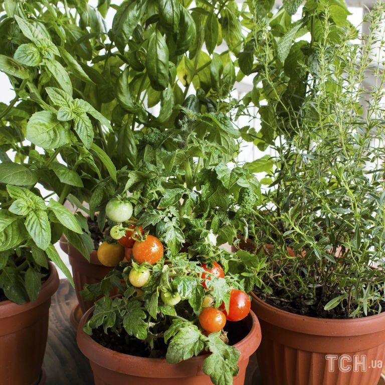 Ампельні помідори: як доглядати і коли садити та збирати