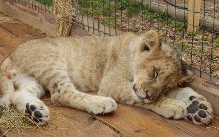 В детсад на Киевщине привели маленького льва