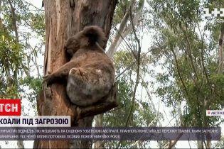 Новини світу: коал планують помістити до списку тварин, котрим загрожує вимирання