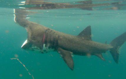 Дайвер у шотландських водах сфотографував рідкісну гігантську акулу з метрової відстані: відео