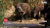 Новости мира: в Риме начали ловить в клетки диких кабанов
