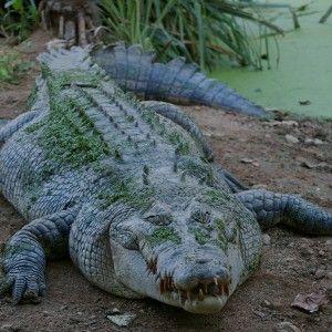 Жінки в Індії відбили рибалку у крокодила