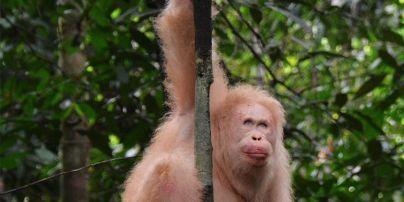 Зоозахисники поділилися рідкісним фото єдиного у світі орангутанга-альбіноса