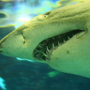 """Учені """"звинуватили"""" білих акул у містичному зникненні давніх підводних гігантів мегалодонів"""