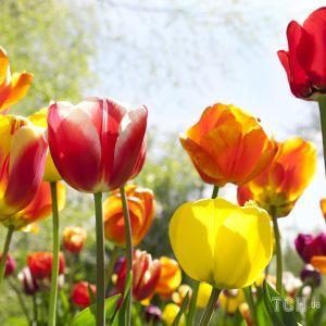 Уход за тюльпанами: что делать, когда они отцвели