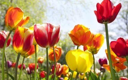 Догляд за тюльпанами: що робити, коли вони відцвіли