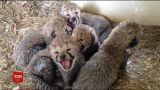 Десять малышей-гепардов родились в американском штате Вирджиния