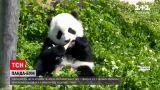 Новости мира: за последний год выросла популяция панд