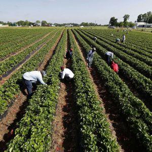 Отсутствие украинских заробитчан на полях Чехии ставит местный агробизнес на колени – предприниматели