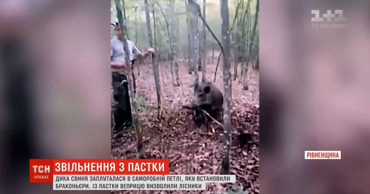 В Ровенской области спасли дикую свинью, которая запуталась в петле браконьеров