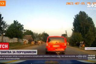 Новини України: у Житомирській області череда худоби допомогла поліцейським зупинити п'яного водія