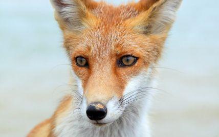 Змушені йти до міста, щоб прохарчуватися: у Вінниці фіксують нашестя лисиць