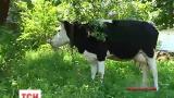Гибель коров вызвала конфликт на Житомирщине