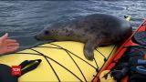 В Мережу потрапило відео, як допитливий тюлень плавав на байдарці