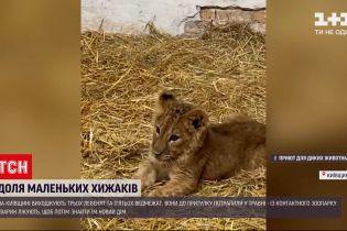 Новости Украины: под Киевом выхаживают травмированных в контактном зоопарке львят и медвежат