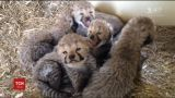 В зоопарке США родились сразу 10 детенышей гепардов