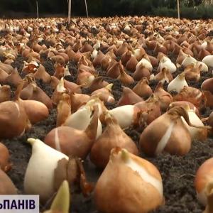 Зробити центр Києва схожим на поля довкола Амстердама: у столиці висадили 100 тисяч тюльпанів