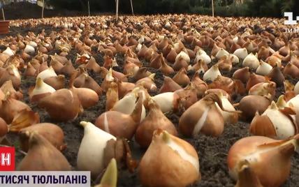Сделать центр Киева похожим на поля вокруг Амстердама: в столице высадили 100 тысяч тюльпанов