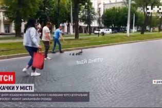 Новости Украины: в Днепре прохожие переводили утку с малышами через центральный проспект