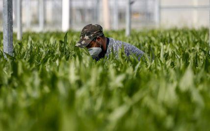 Нікому збирати врожай: у Латвії фермери скаржаться на відсутність українських заробітчан