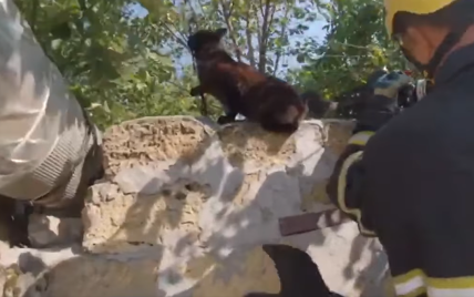 У Миколаєві кіт заплутався у колючому дроті паркану: як рятували тварину (відео)