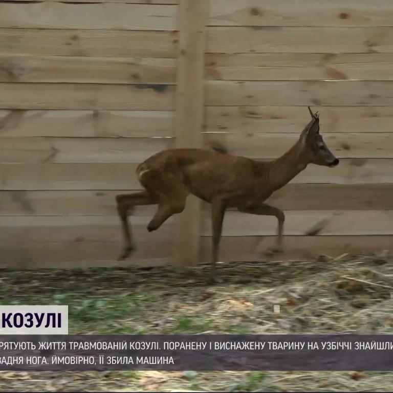В Харьковской области спасают жизнь косули, которой раздробило ногу: фото, видео
