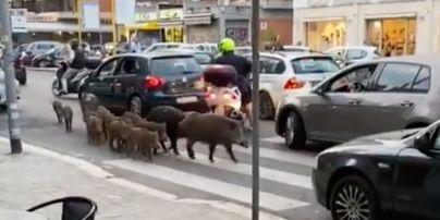 Блукають Римом у пошуках смачненького: дикі кабани тероризують італійську столицю