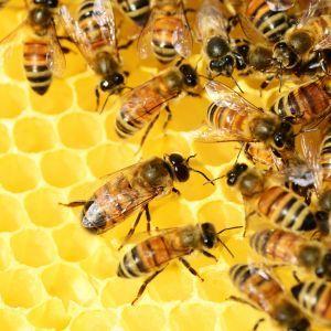 На Волині бджоли-вбивці розорюють господарські вулики і знищують цілі сім'ї комах