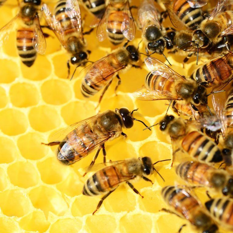 На Волыни пчелы-убийцы разоряют хозяйственные ульи и уничтожают целые семьи насекомых