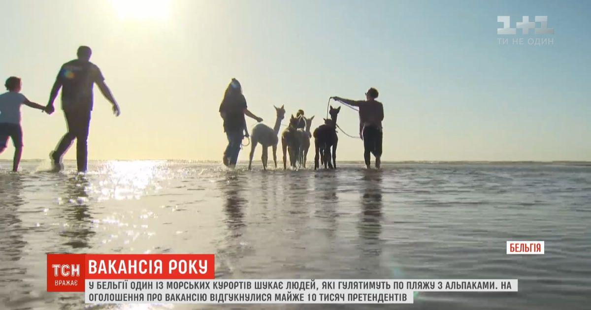 Вакансия года: в Бельгии ищут людей, которые будут гулять по пляжу с альпаками людей, которые будут гулять по пляжу с альпаками