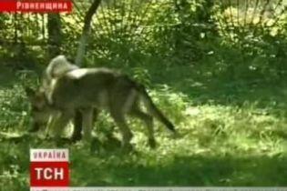 Міліція виховує вовків