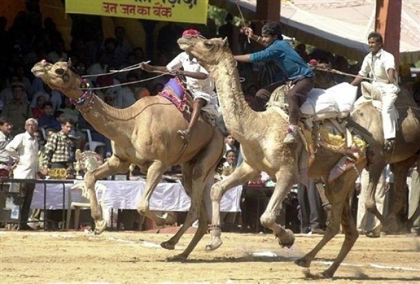 Кому верблюда? Кому конячку?