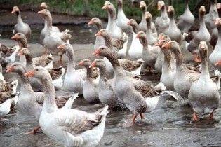 На Харківщині знайшли майже тисячу мертвих гусей
