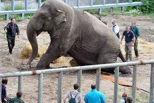 Київський зоопарк придбає трьох слонів