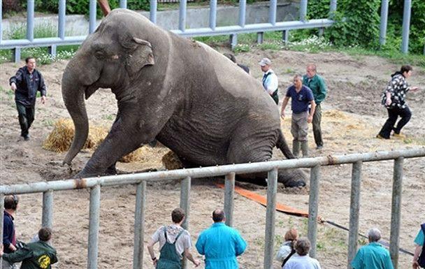 Київському слону зробили педикюр