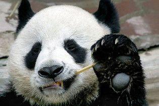У зоопарку Таїланду показали народження панди