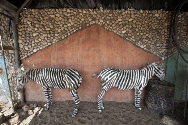 В зоопарку Гази ослиць перефарбували на зебр