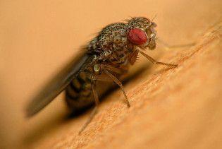 Вчені навчилися маніпулювати спогадами мушок-дрозофіл