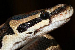 Контрабандист заховав у трусах 10 ящірок та обмотався пітонами
