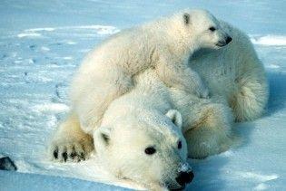 Канадський підліток провів ніч на крижині з двома білими ведмедями