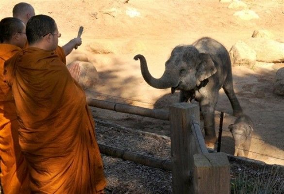 Ченці благословили австралійське слоненя