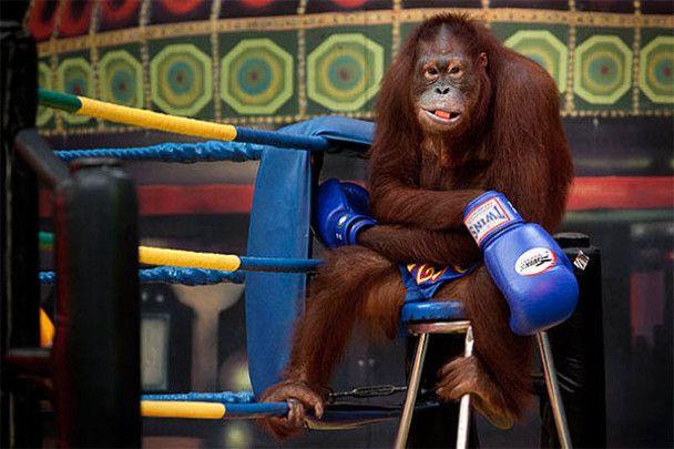 Орангутангів випустили на ринг