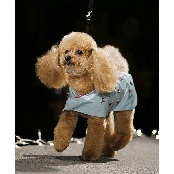 Модне шоу для собак у Нью-Йорку