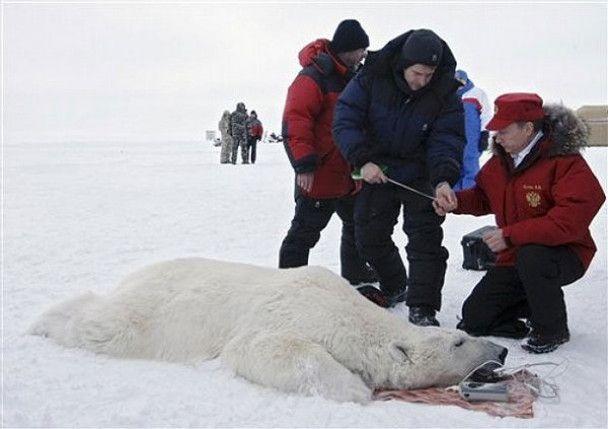 Путін обміряв білого ведмедя у Арктиці