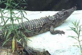 Крокодил втік у море