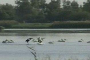 Перелітні птахи об'їдають ізраїльських фермерів (відео)