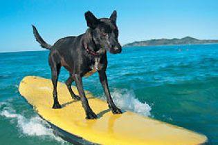 Собаки займаються серфінгом